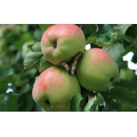 China Delicious Big Organic Green Apple Crispy , Suitable Sour / Sweet For Supermarket on sale
