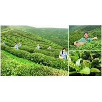 Wholesale natural Chinese organic green tea from china suppliers