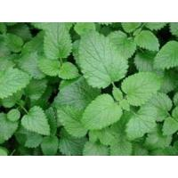 Lemon balm Extract 10:1 stress (anxiety) reduction,sleep aid,Antioxidant and antitumor