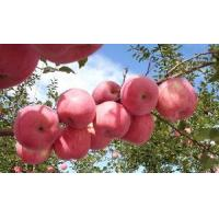 Wholesale FUJI Apple - 1 from china suppliers