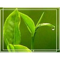 Wholesale Plant Extract-Green Tea Extract from china suppliers