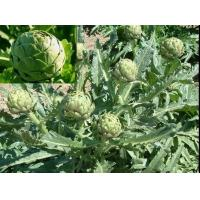 Wholesale Artichoke leaf extract  Cynarin from china suppliers