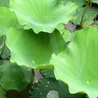 Wholesale Lotus Leaf P.e from china suppliers