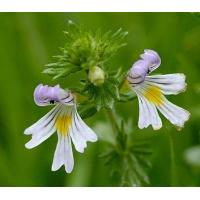 Wholesale Proportional Extracts :Eyebright Herb extract from china suppliers