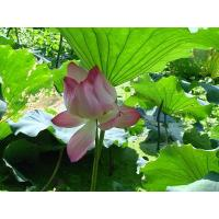 Wholesale Vitamin Lotus Leaf Extract from china suppliers