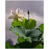 Wholesale Lotus Leaf Extract (wenyun@naturalinbio.com) from china suppliers