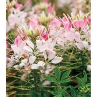 Wholesale Cleome Spirit Appleblossom from china suppliers