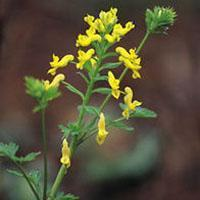 Wholesale Corydalis from china suppliers