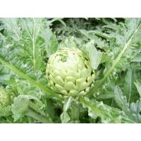 Wholesale Artichoke Extract from china suppliers