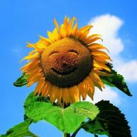 Wholesale 6B02 Happy Sunflower (for 6 cards) from china suppliers