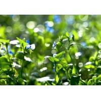 Buy cheap Common Dayflower Herb Extract from wholesalers