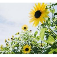 Buy cheap Sunflower Extract from wholesalers