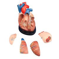 Wholesale Middle Heart Model Product No: XC-307D from china suppliers