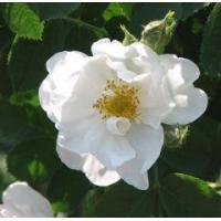 Wholesale Essential oils Rose otto - Rose Alba from china suppliers