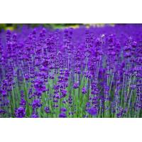 Wholesale Essential oils Lavender essential oil from china suppliers