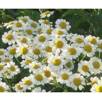 Wholesale Essential oils Chamomile essential oil from china suppliers